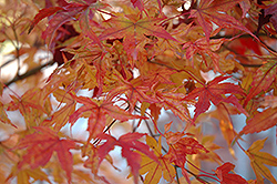Butterfly Variegated Japanese Maple (Acer palmatum 'Butterfly') at Moana Nursery