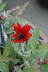 Red Torch African Daisy (Arctotis 'Red Torch') at Moana Nursery