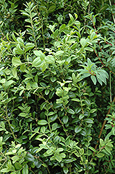 Graham Blandy Boxwood (Buxus sempervirens 'Graham Blandy') at Moana Nursery