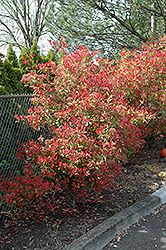 Fraser Photinia (Photinia x fraseri) at Moana Nursery