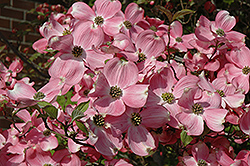 Cherokee Brave Flowering Dogwood (Cornus florida 'Cherokee Brave') at Moana Nursery