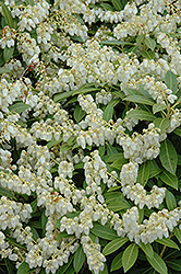 Cavatine Dwarf Japanese Pieris (Pieris japonica 'Cavatine') at Moana Nursery