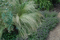 Mexican Feather Grass (Nassella tenuissima) at Moana Nursery