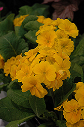 Supernova Golden Yellow Primrose (Primula 'Supernova Golden Yellow') at Moana Nursery