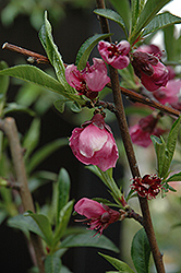 Frost Peach (Prunus persica 'Frost') at Moana Nursery