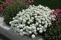 Tahoe Candytuft (Iberis sempervirens 'Tahoe') at Moana Nursery