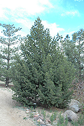 Pinyon Pine (Pinus edulis) at Moana Nursery