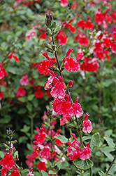 Hot Lips Sage (Salvia microphylla 'Hot Lips') at Moana Nursery