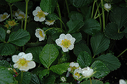 Seascape Strawberry (Fragaria 'Seascape') at Moana Nursery