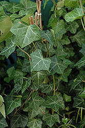 Thorndale Ivy (Hedera helix 'Thorndale') at Moana Nursery
