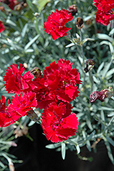 Fire Star Pinks (Dianthus 'Devon Xera') at Moana Nursery