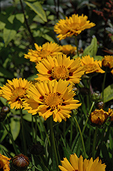 Sunfire Tickseed (Coreopsis grandiflora 'Sunfire') at Moana Nursery
