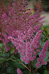 Maggie Daley Astilbe (Astilbe chinensis 'Maggie Daley') at Moana Nursery