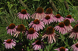 Purple Coneflower (Echinacea purpurea) at Moana Nursery