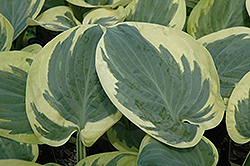 Snow Cap Hosta (Hosta 'Snow Cap') at Moana Nursery