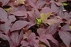 Sweet Caroline Red Sweet Potato Vine (Ipomoea batatas 'Sweet Caroline Red') at Moana Nursery