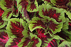 Kong Red Coleus (Solenostemon scutellarioides 'Kong Red') at Moana Nursery