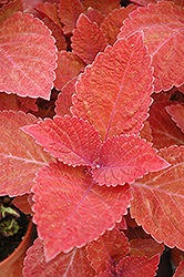 Big Red Judy Coleus (Solenostemon scutellarioides 'Big Red Judy') at Moana Nursery
