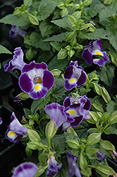 Catalina Midnight Blue Torenia (Torenia 'Catalina Midnight Blue') at Moana Nursery