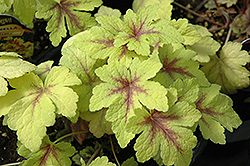 Golden Zebra Foamy Bells (Heucherella 'Golden Zebra') at Moana Nursery