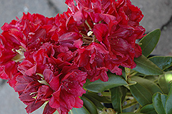 Double Besse Rhododendron (Rhododendron 'Double Besse') at Moana Nursery