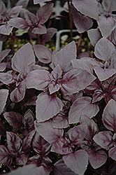 Red Rubin Basil (Ocimum basilicum 'Purpurascens') at Moana Nursery