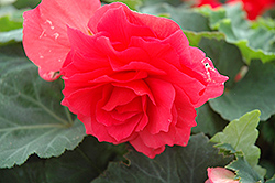 Nonstop Bright Red Begonia (Begonia 'Nonstop Bright Red') at Moana Nursery