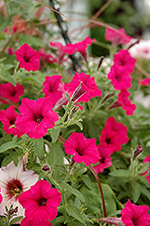 Supertunia® Sangria Charm Petunia (Petunia 'Supertunia Sangria Charm') at Moana Nursery