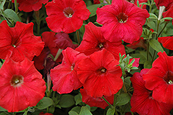 Easy Wave Red Petunia (Petunia 'Easy Wave Red') at Moana Nursery