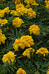 Durango Yellow Marigold (Tagetes patula 'Durango Yellow') at Moana Nursery