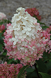 Vanilla Strawberry Hydrangea (Hydrangea paniculata 'Renhy') at Moana Nursery