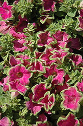 Supertunia Picasso In Pink Petunia (Petunia 'Supertunia Picasso In Pink') at Moana Nursery