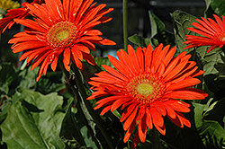 Funtastic Fire Orange Gerbera Daisy (Gerbera 'Funtastic Fire Orange') at Moana Nursery