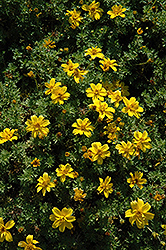 Mexcan Gold Semi-Double Bidens (Bidens ferulifolia 'Mexican Gold Semi-Double') at Moana Nursery