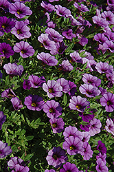 Cabaret® Dark Blue Calibrachoa (Calibrachoa 'Cabaret Dark Blue') at Moana Nursery