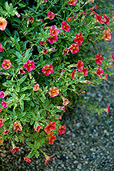 Superbells® Tequila Sunrise Calibrachoa (Calibrachoa 'Superbells Tequila Sunrise') at Moana Nursery