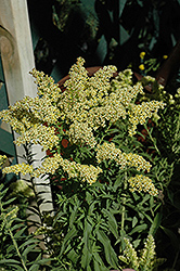 Little Lemon Goldenrod (Solidago 'Dansolitlem') at Moana Nursery