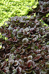 Black Scallop Bugleweed (Ajuga reptans 'Black Scallop') at Moana Nursery