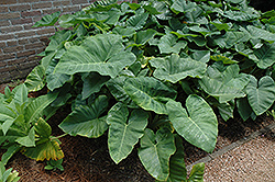 Elephant's Ear (Caladium colocasia) at Moana Nursery