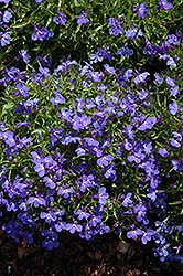 Sky Blue Palace Lobelia (Lobelia erinus 'Sky Blue Palace') at Moana Nursery