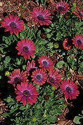 Fortunette Red Flare African Daisy (Osteospermum 'Fortunette Red Flare') at Moana Nursery