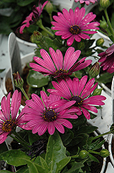 Soprano Purple African Daisy (Osteospermum 'Soprano Purple') at Moana Nursery