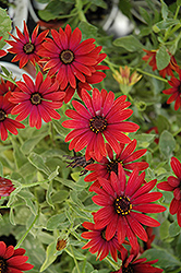 Zion Red African Daisy (Osteospermum 'Zion Red') at Moana Nursery