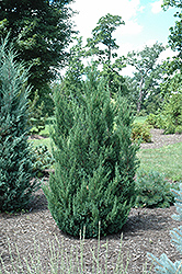 Blue Point Juniper (Juniperus chinensis 'Blue Point') at Moana Nursery