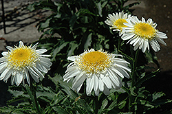 Real Glory Shasta Daisy (Leucanthemum x superbum 'Real Glory') at Moana Nursery