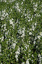 Angelface White Angelonia (Angelonia angustifolia 'Angelface White') at Moana Nursery
