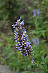 Blue Moon Catmint (Nepeta nervosa 'Blue Moon') at Moana Nursery