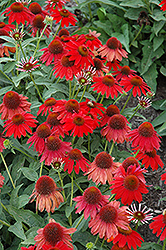 Sombrero® Salsa Red Coneflower (Echinacea 'Balsomsed') at Moana Nursery