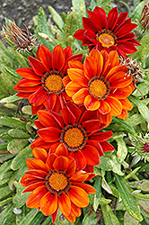 New Day Clear Red Shades (Gazania 'New Day Red Shades') at Moana Nursery