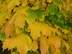 Columnar Norway Maple (Acer platanoides 'Columnare') at Moana Nursery